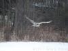 186GreatGreyOwl031317-Putnam