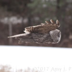 Great Grey Owl - Newport NH