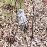 Greay Grey Owl - Newport NH